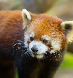 the oregon zoo is now home to a very good red panda [ 1200 x 802 Pixel ]