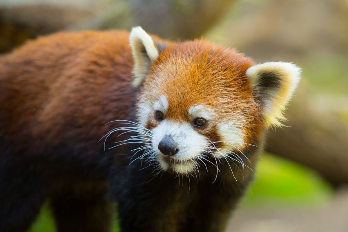 hight resolution of the oregon zoo is now home to a very good red panda