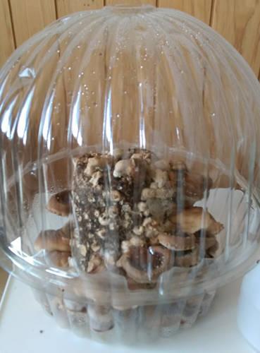 グロい椎茸栽培キット