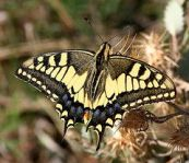 English Swallowtail