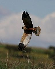 Western Marsh Harrier flying past