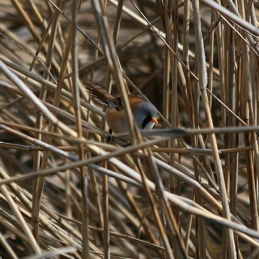 Bearded Reedling (Panurus biarmicus) in reeds