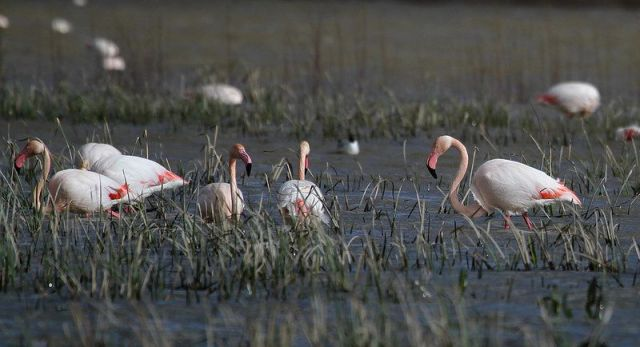 Greater Flamingo (Pheonicopterus roseus)