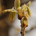 Chesnut Bud (Brote de Castaño)