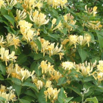 Honeysuckle (Madreselva)