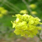 Mustard (Mostaza)