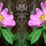 Wild Rose (Rosa silvestre)