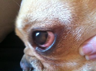 Black Spot On Dog S Sclera White Part