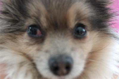 Eye infection in Dog (Eye Redness)