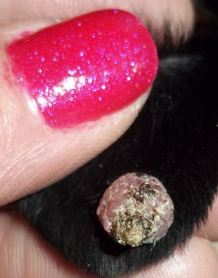 Skin Colored Itchy P With Darker Ring Around Edges On Inside Of Dog Ear