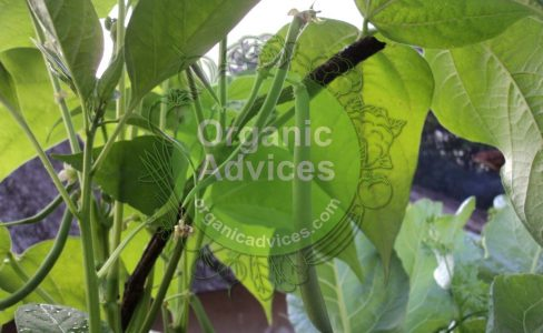 beans cultivation tips