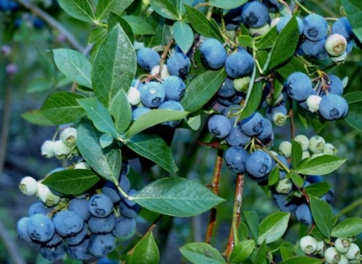 how to transplant blueberry
