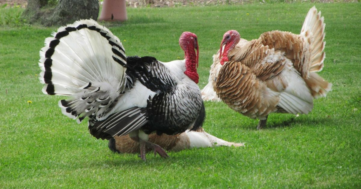 what turkey producers don