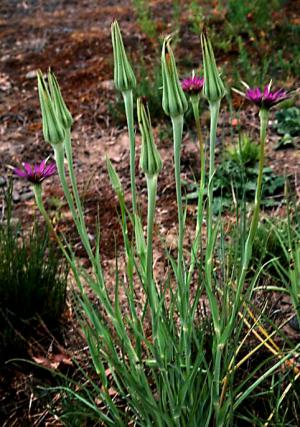 Growing Salsify