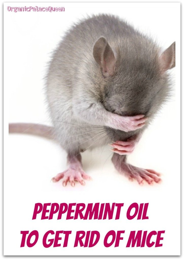 Peppermint essential oil for mice