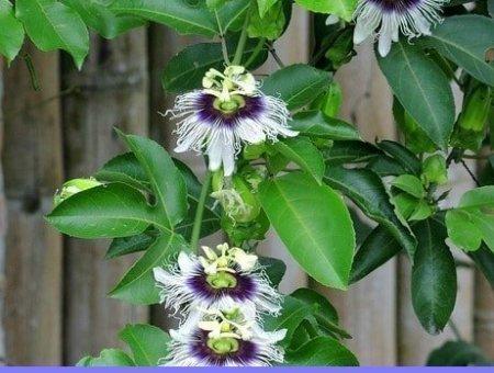 best passionflower supplement