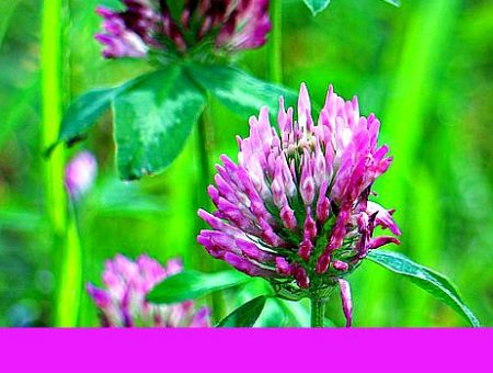 red clover tea and cancer