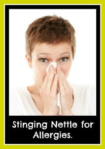 Does stinging nettle work for allergies