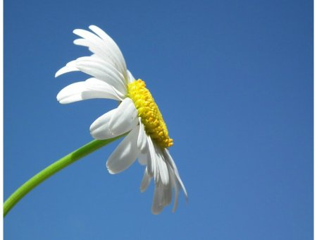 chamomile roman essential oil benefits