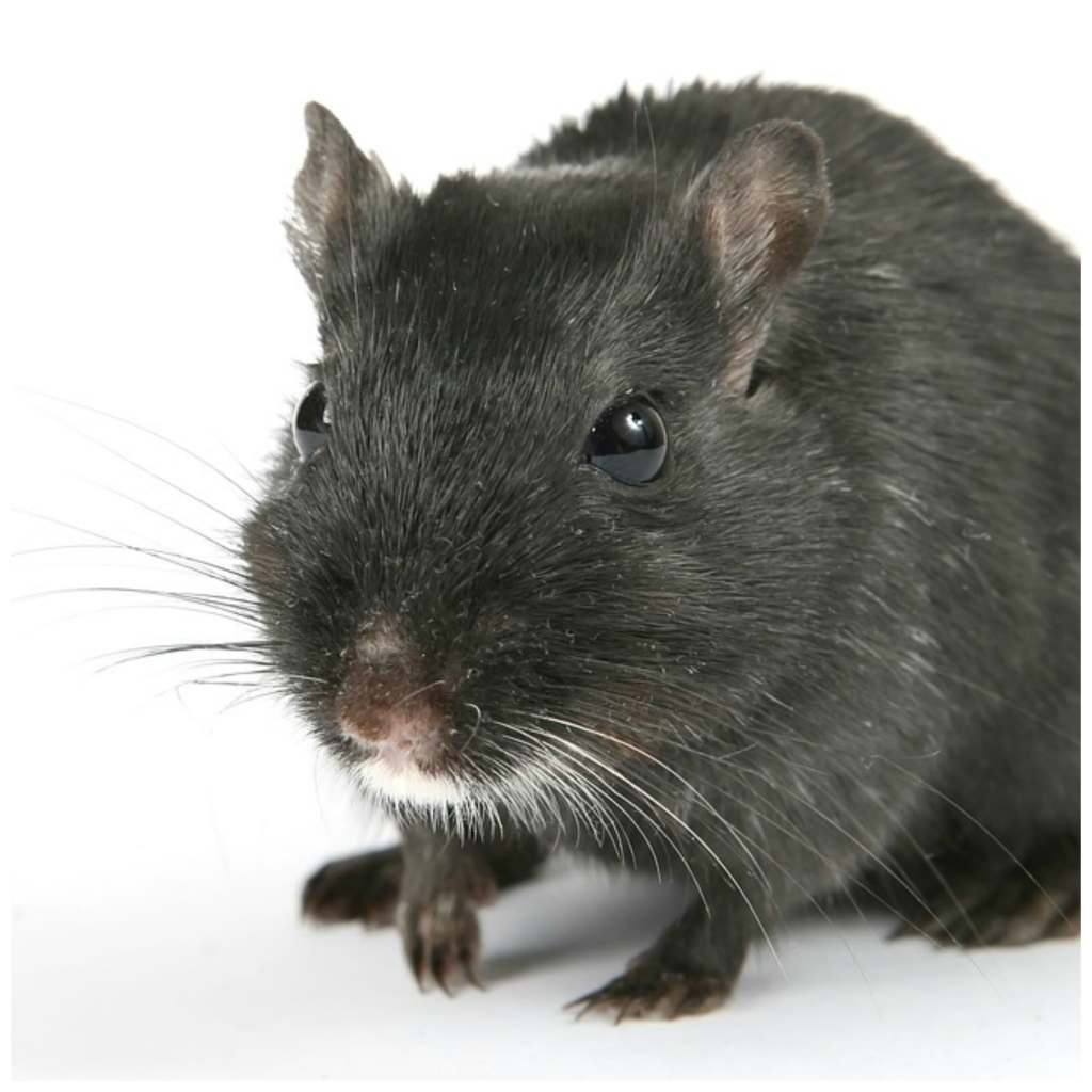 non toxic pest control with essential oils