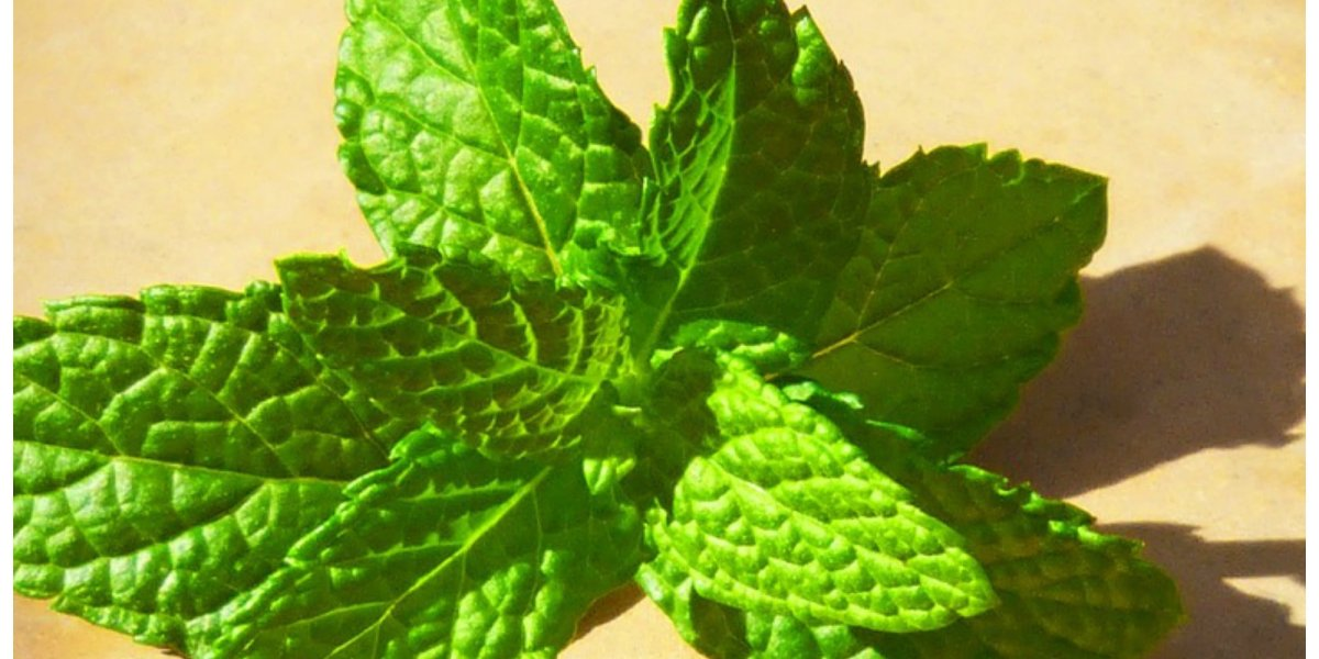 Peppermint Oil for Varicose Veins