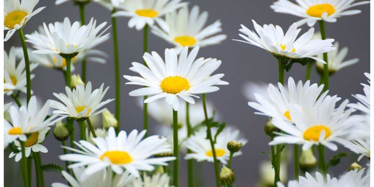 Health Benefits Of Chamomile Herb