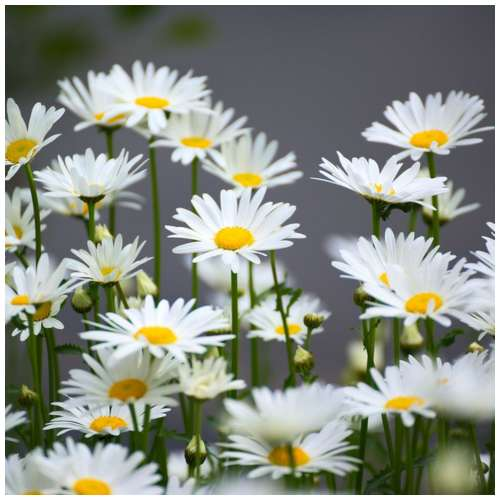 health benefits of chamomile herb