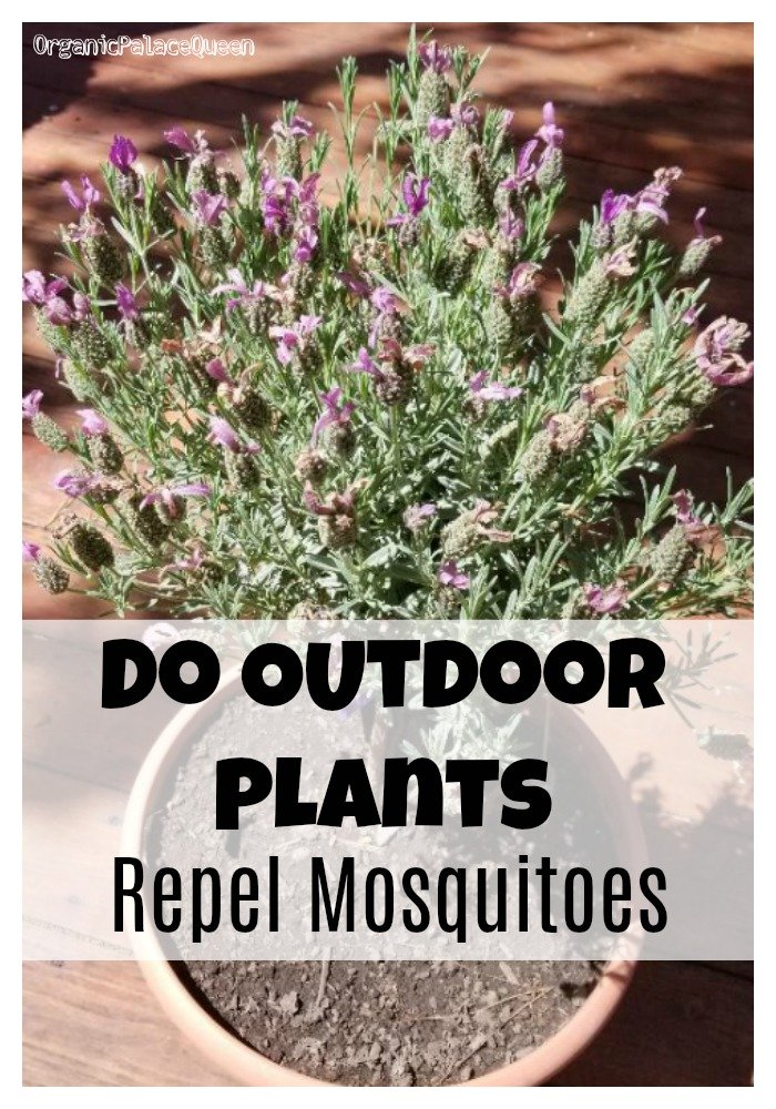 Do outdoor plants repel mosquitoes