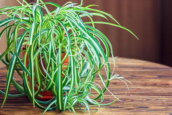 planta araña - plantas para oficina o casa