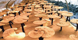 """""""Ganoderma side effects and benefits"""""""