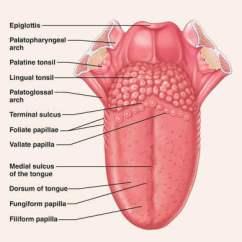 Diagram Of The Nose And Its Functions Shear Moment Calculator Human Tongue Parts, With Details