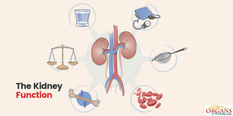 kidney functions and diseases