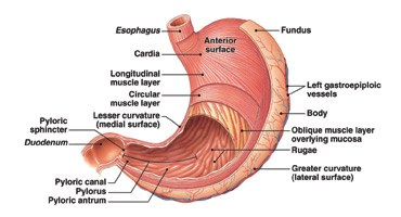 Human anatomy of the stomach periodic diagrams science 23 interesting stomach facts function parts diseases organs ccuart Choice Image