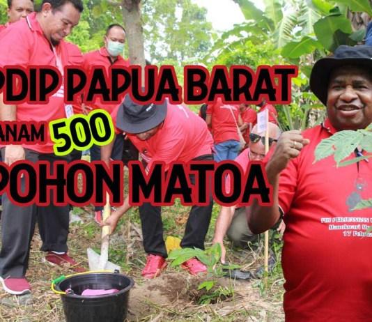PDIP Papua Barat Tanam 500 Pohon Buah Matoa di Aipiri Manokwari