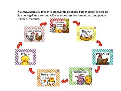 ciclo de vida de la gallina 8