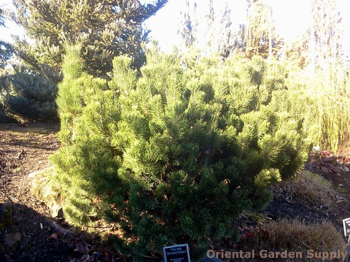 pinus mugo 'sherwood's compact' - oriental garden supply llc