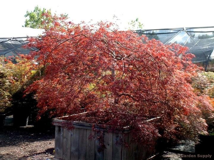 acer palmatum dissectum 'tamukeyama' - oriental garden
