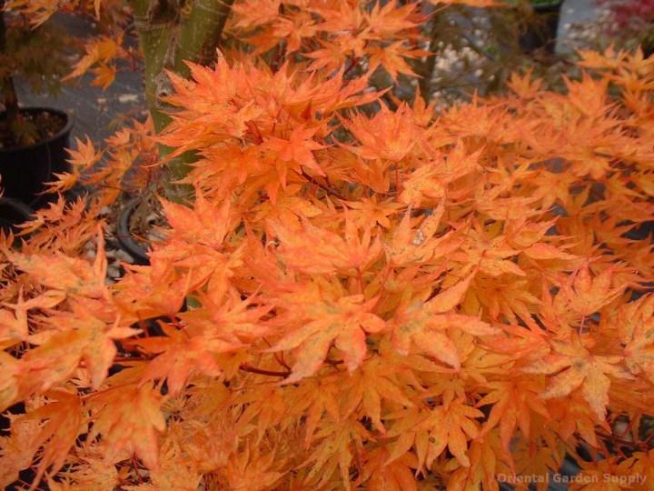 acer palmatum 'higasayama' - oriental garden supply llc