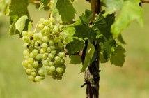 stage suivi technique viticole