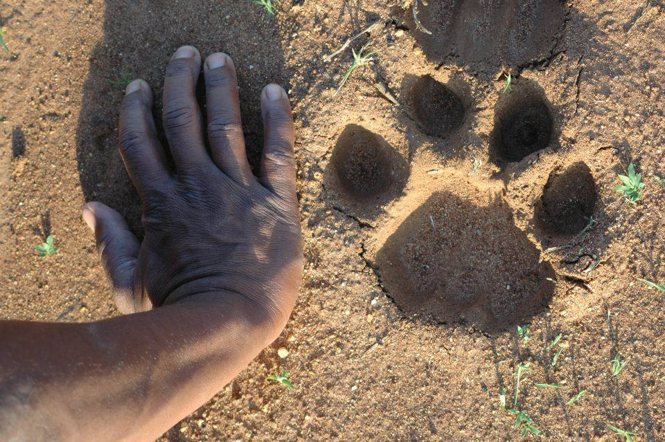 Huge lion track next to George's hand