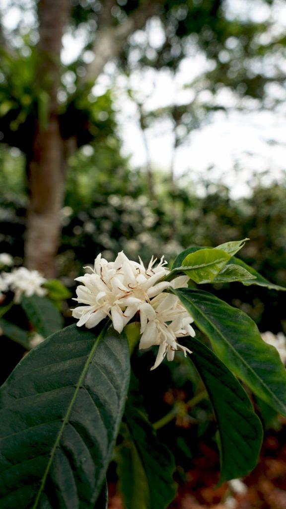 Bourbon Coffee Blossom