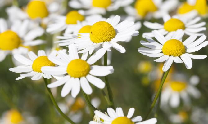 Camomilla, un fiore profumato dalle proprietà segrete!
