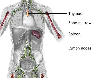 Our Immune System – Foundation of our Health   medicinal mushrooms ...