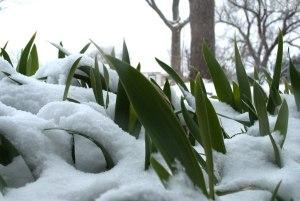 Snow covered irises