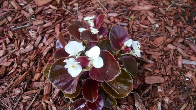 Pretty begonia blooms!