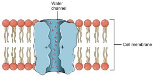 Depiction of an aquaporin water channel