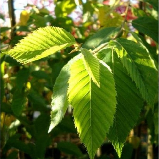 Hop Hornbeam Tree For Sale
