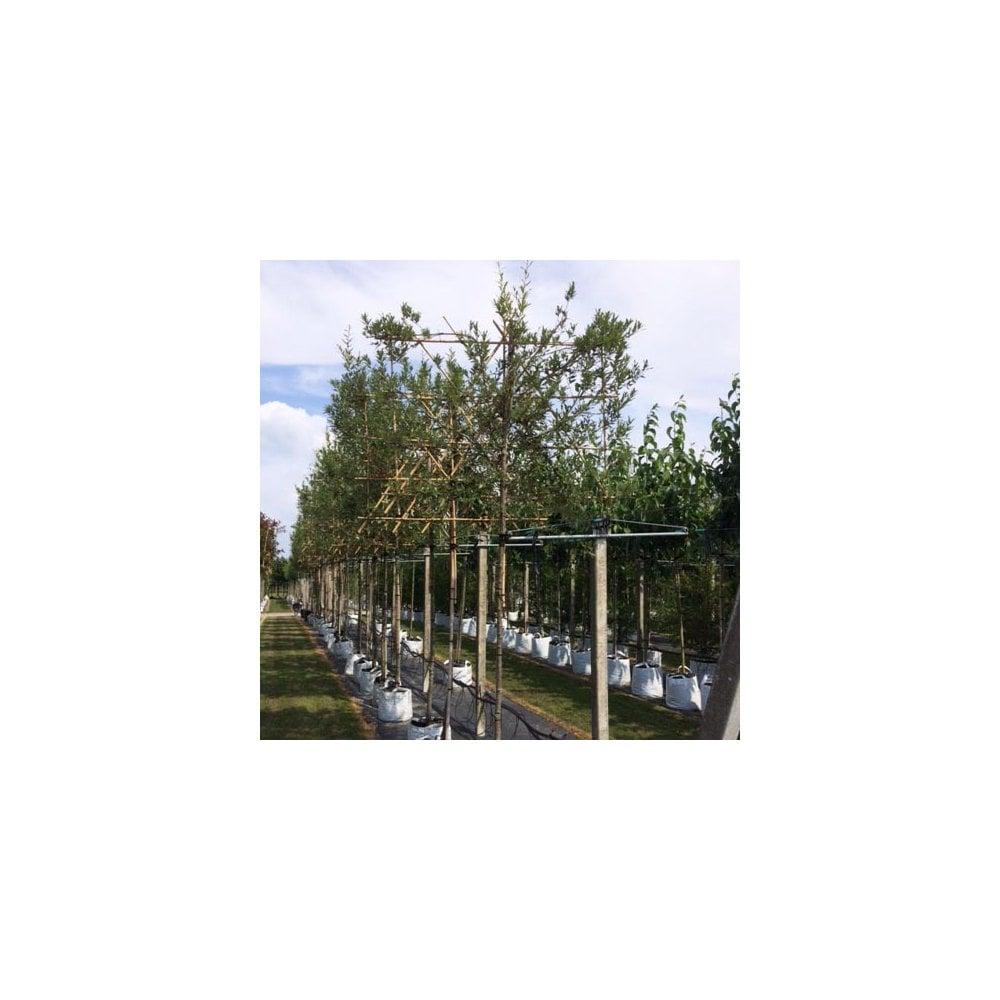 hight resolution of pleached semi evergreen oak tree