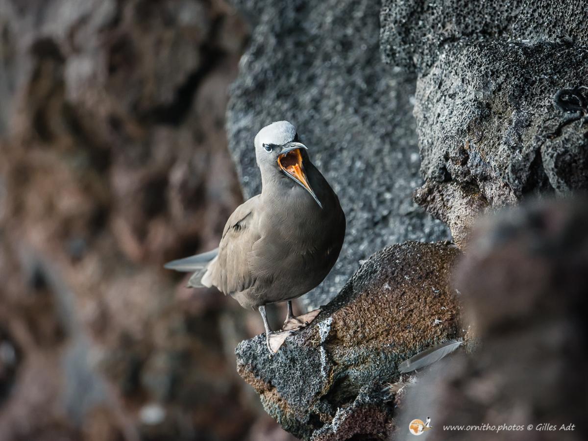 noddi brun - © Gilles Adt