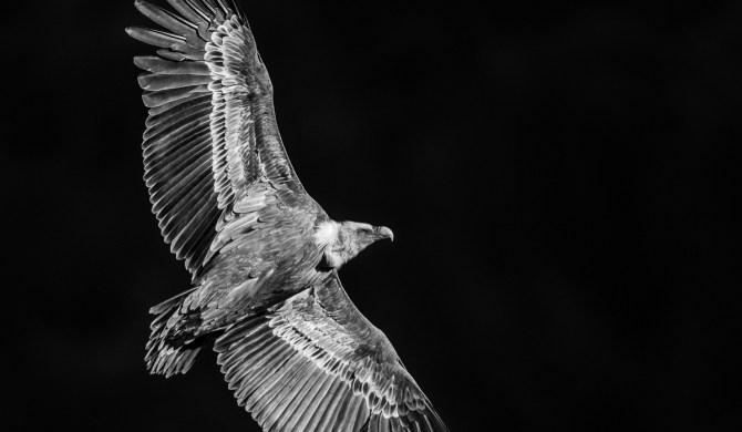 vautour fauve en N&B - © Gilles